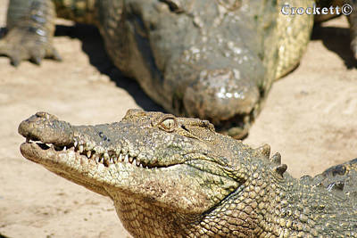 Poster featuring the photograph Crazy Saltwater Crocodile by Gary Crockett