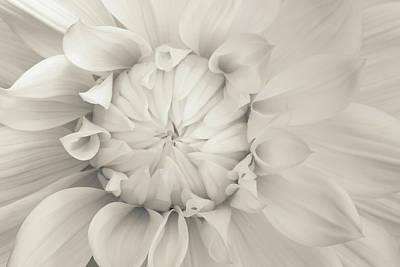 Cream Chrysanthemum Poster by Lucid Mood