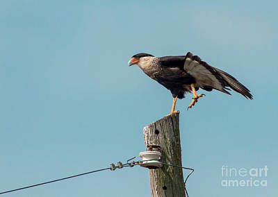 Crested Caracara Poster by Robert Frederick
