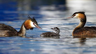 Crested Grebe, Podiceps Cristatus, Ducks Family Poster