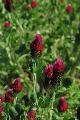 Poster featuring the photograph Crimson Clover by Robyn Stacey