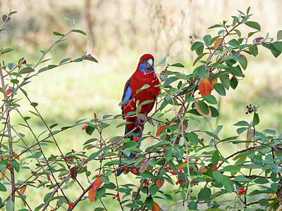 Crimson Rosella 3 - Canberra - Australia Poster