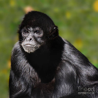 critically endangered Black Spider Monkey  Poster by Paul Davenport