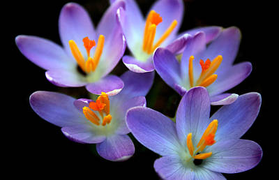 Poster featuring the photograph Crocus Aglow by Jessica Jenney