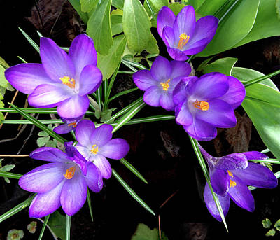 Crocus First To Bloom Poster
