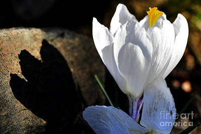 Crocus Light And Shadow Poster by Thomas R Fletcher