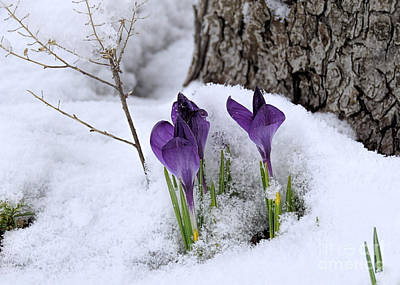 Crocuses In Snow Poster by Janice Drew