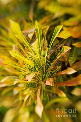Croton Blur Poster by Ron Dahlquist - Printscapes
