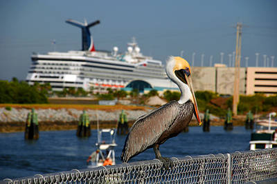 Cruising Pelican Poster