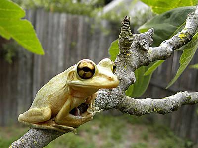 Cuban Tree Frog 001 Poster