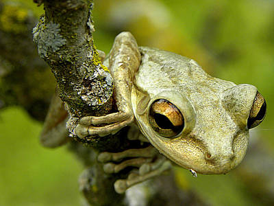 Cuban Tree Frog  Poster by Chris Mercer