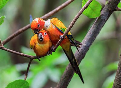Cuddling Parrots Poster