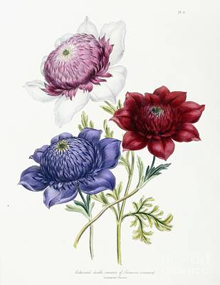 Cultivated Double Varieties Of Anemone Coronarial Poster by Jane Loudon