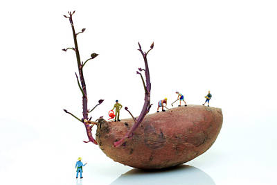 Cultivation On A Sweet Potato Poster by Paul Ge