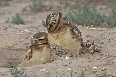Curios Owl Poster