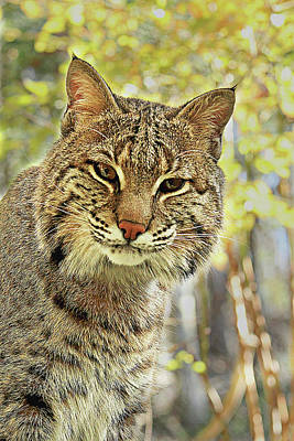 Poster featuring the photograph Curiosity The Bobcat by Jessica Brawley
