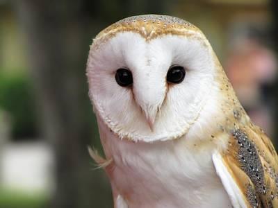 Curious Barn Owl Poster