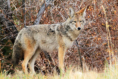 Curious Coyote Poster by Donna Kennedy