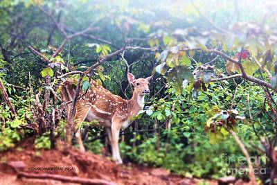 Curious Deer Poster by Chandima Weeratunga