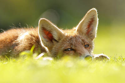 Curious Fox Kit Poster by Roeselien Raimond