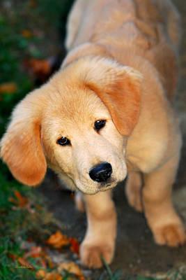 Curious Golden Retriever Pup Poster by Christina Rollo