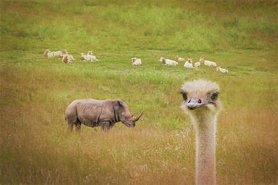 Curious Ostrich And White Rhino Poster
