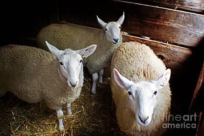 Curious Sheep Poster