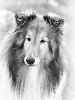 Curious Sheltie Poster by Pat Eisenberger