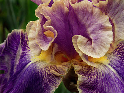 Curled Iris Petals Poster by Jean Noren
