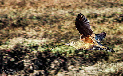Curlew In Flight Poster