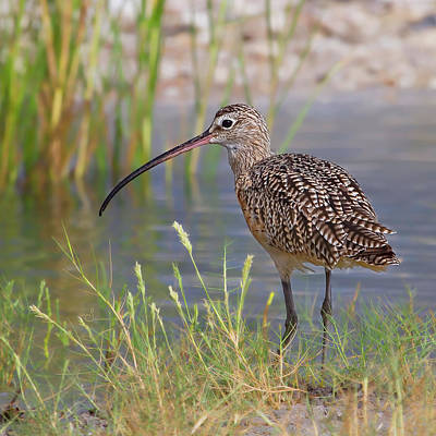Curlew Poster by Sally Mitchell