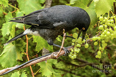 Currawong On A Vine Poster