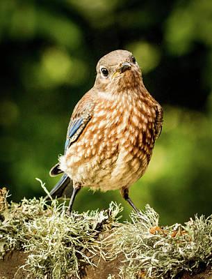 Cute Bluebird Adolescent Poster