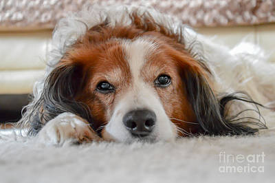 Cute Brown And White Dog Laying On Carpet Poster