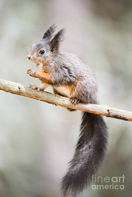 Cute Eurasian Red Squirrel Poster