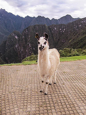 Cute Llama Posing For Picture Poster