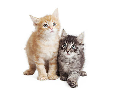 Cute Orange And Black Tabby Kittens Together Poster by Susan Schmitz