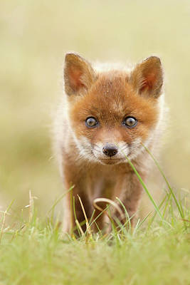 Cute Overload - Red Fox Kit Poster by Roeselien Raimond