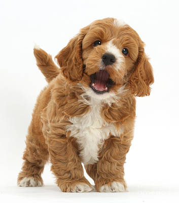 Cute Playful Cockapoo Puppy Poster