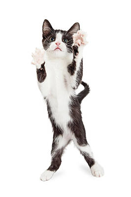 Cute Playful Kitten With Paws Up In Air Poster