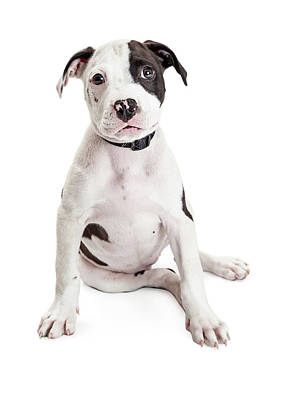 Cute Puppy Sitting To Side On White Poster by Susan Schmitz