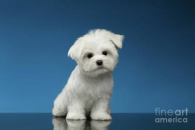 Cute Pure White Maltese Puppy Standing And Curiously Looking In Camera Isolated On Blue Background Poster