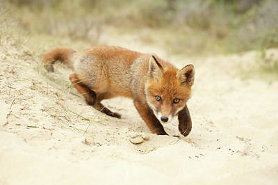 Cute Red Fox Kit Practising Its Hunting Skills Poster by Roeselien Raimond