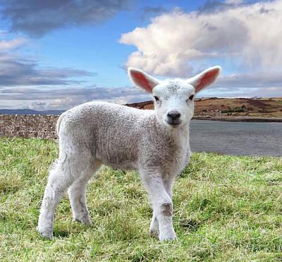 Cute Spring Lamb Posing Beside The Wild Atlantic Way In Ireland Poster