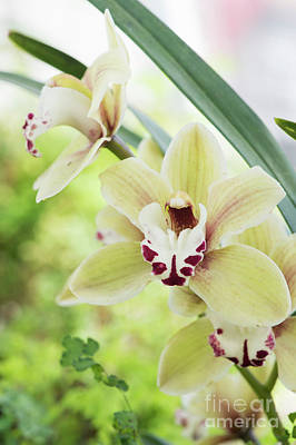 Poster featuring the photograph  Cymbidium Orchid by Tim Gainey