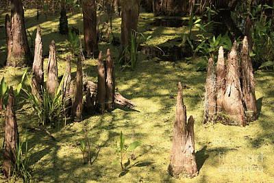 Cypress Knees In Green Swamp Poster by Carol Groenen