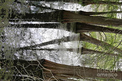 Cypress Trees Angles Lake Martin  Poster