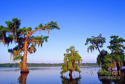 Cypress Trees In Morning Light Poster