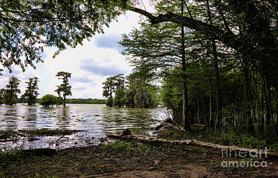 Cypress Trees Swamps Lake Martin La Poster