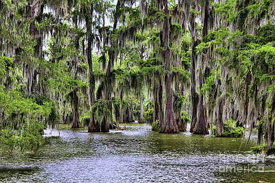 Cypress Trees Swamps Louisiana  Poster